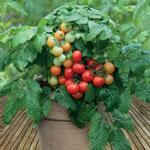 Купить семена для огорода на подоконнике