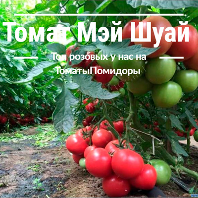 Томат Мэй Шуай - 8 место топ розовые томаты