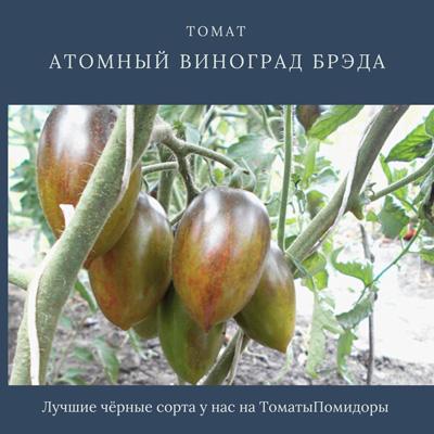 Томат Атомный виноград Брэда - 4 место топ черные томаты