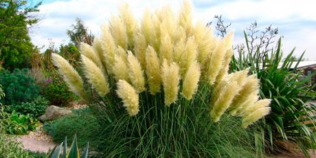 Купить семена пампасной травы