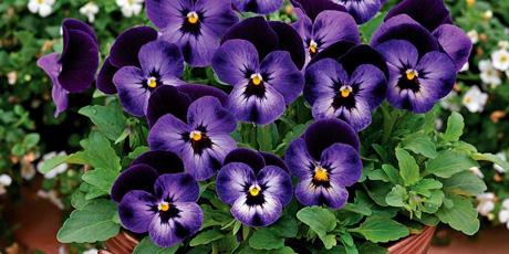 Купить семена фиалки, виолы, анютиных глазок