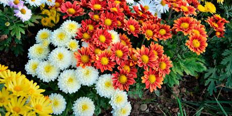 Купить семена хризантемы