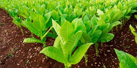Купить семена табак