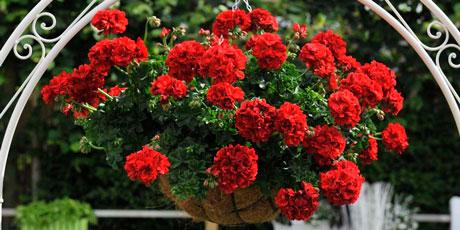 Купить семена пеларгонии и герани садовой