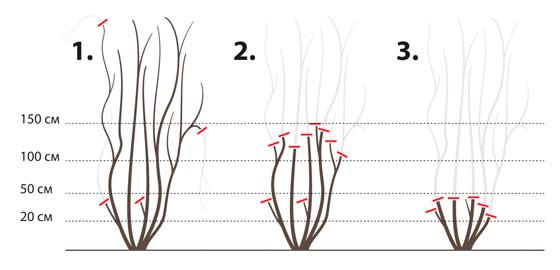 Методы обрезки клематисов весной - клематисы 1, 2, 3 группы