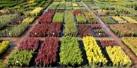 Купить посадочный материал: рассаду клубники, саженцы роз, саженцы гортензий, саженцы малины, бузины, вишни, сирени, цветов и кустарников