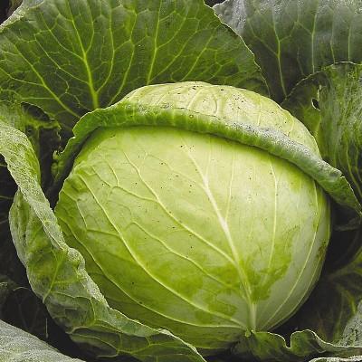 Купить капусту Слава 1305