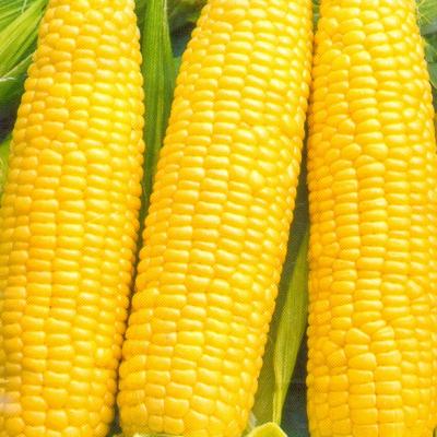 Купить Кукуруза Кубанская 148