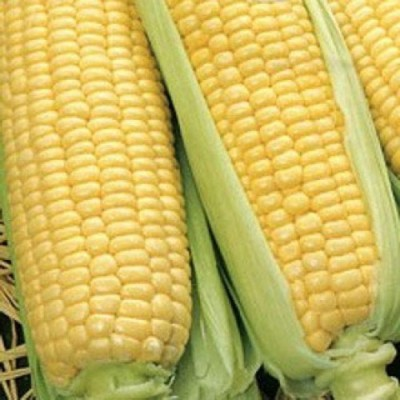 Купить Кукуруза Царица