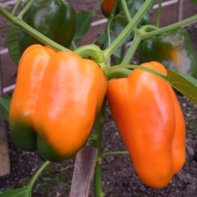 Купить Перец Оранжевое чудо