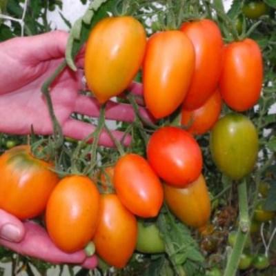 Купить томат Южный загар