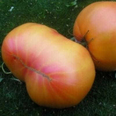 Купить томат Загадка природы