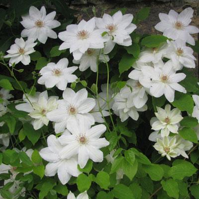 Купить Клематис белый Джордж Джекмен крупноцветковый