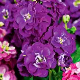 Купить Левкой (маттиола) Фиолетовый карликовый