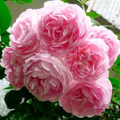 Купить Роза Декор плетистая