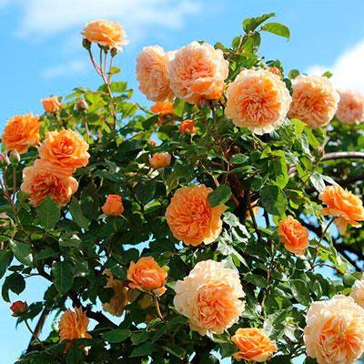 Купить Роза Краун Принцесс Маргарет