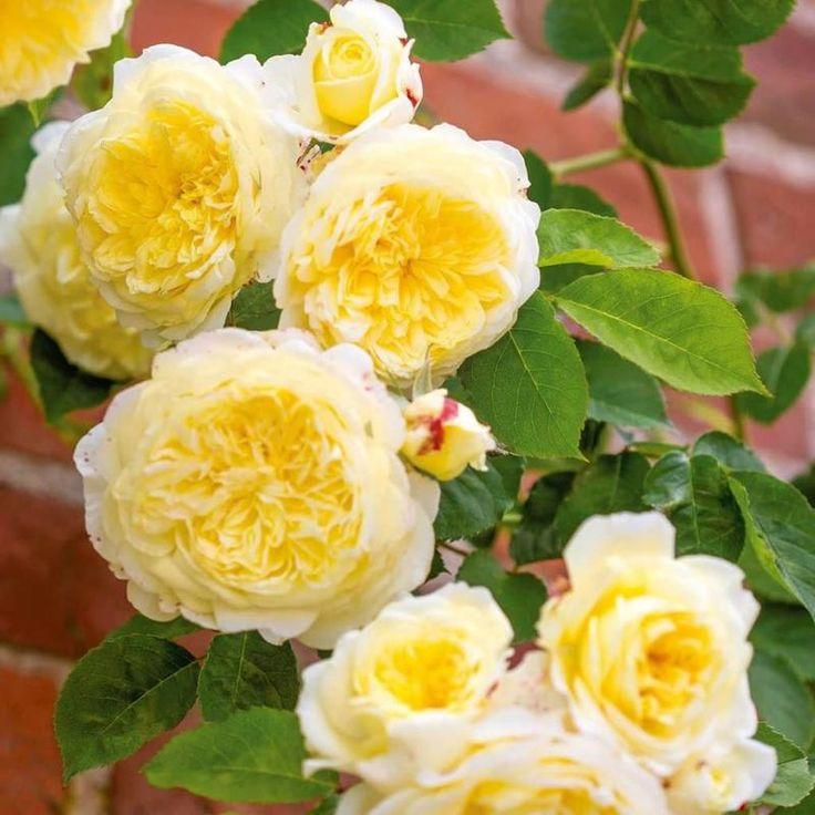 Купить Роза Пилигрим (Пилгрим) английская