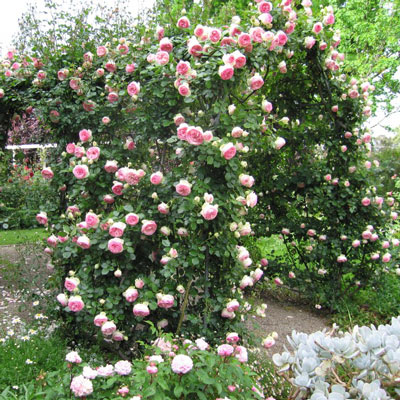 Купить Роза плетистая Жасмина