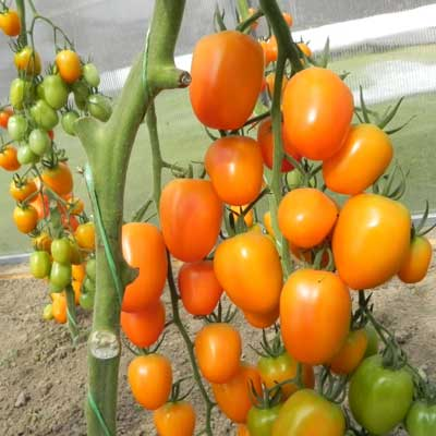 Томат Спрут сливка Оранжевая