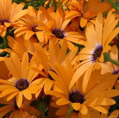 Купить Диморфотека Цветочный нектар