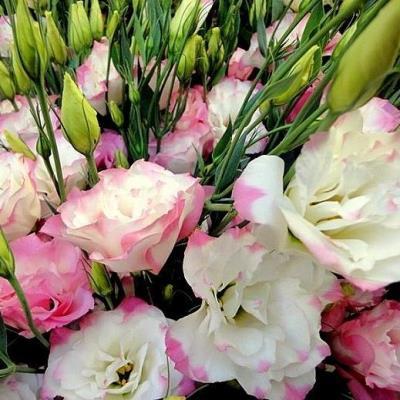Купить Эустома Эхо розовая