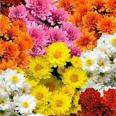 Купить Хризантему корейскую Бархатная осень