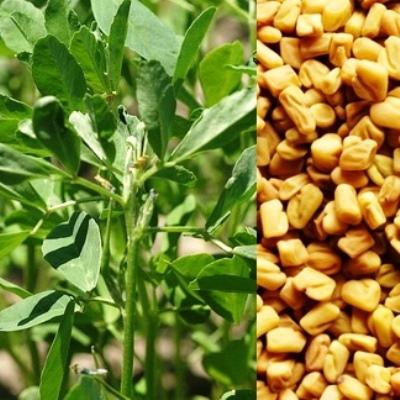 Купить Пажитник Шамбала семена