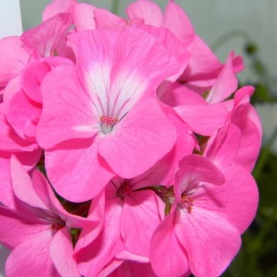 Купить Пеларгонию Рафаэлла розовая