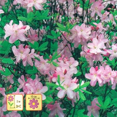 Купить Рододендрон Розовое дерево