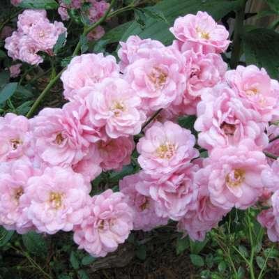 Купить Роза Садовый аромат, многоцветковая