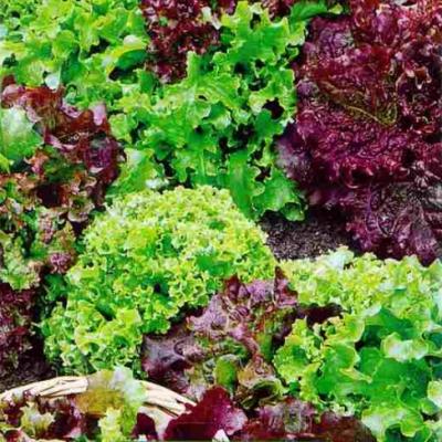 Купить Салат листовой Смесь ранних салатов