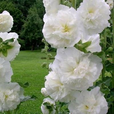 Купить Шток-роза Королевская белая