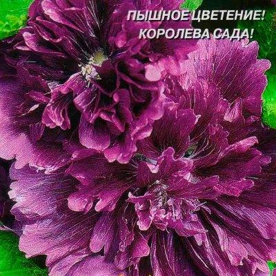 Купить Шток-роза Королевская лиловая