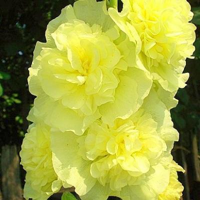Купить Шток-роза Мажоретта желтая