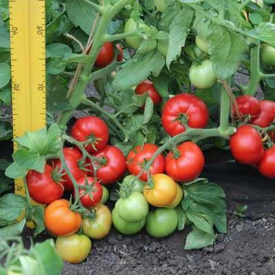 Купить томат Любаша f1