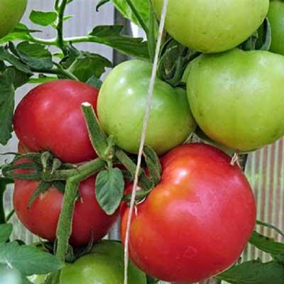 Купить томат Пинк Парадайз