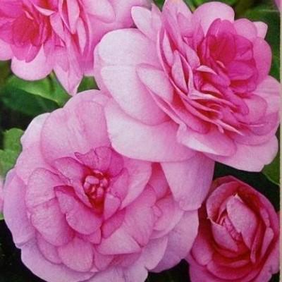 Купить Бальзамин Уоллера Искушение светло-розовое