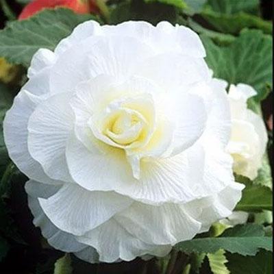Купить Бегония Камелия белая