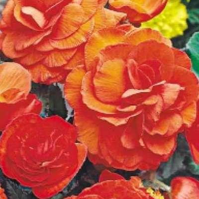 Купить Бегония Нон-стоп оранжевая