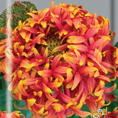 Купить Гайлардия красивая Лоллипап многолетняя