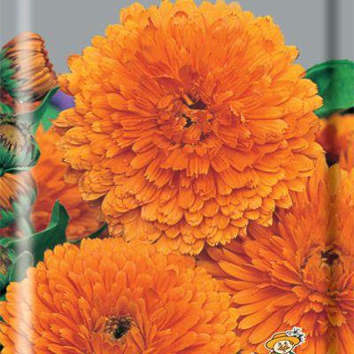 Купить Календула Пацифик Оранжевая красавица