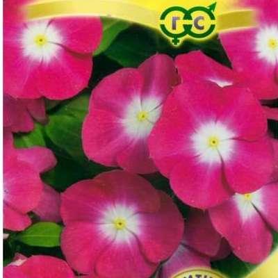 Купить Катарантус ампельный Сиеста розовый