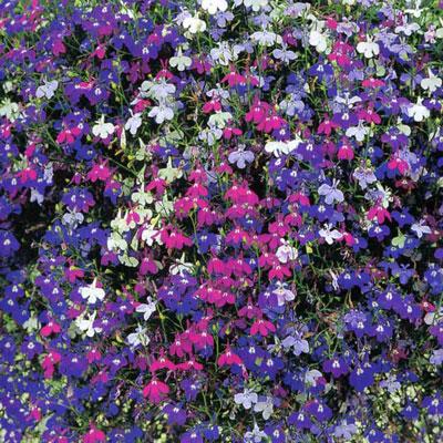 Купить Лобелия ампельная  Цветочный водопад