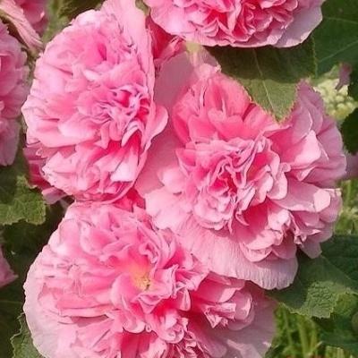 Купить Мальва махровая Ньюпорт розовая