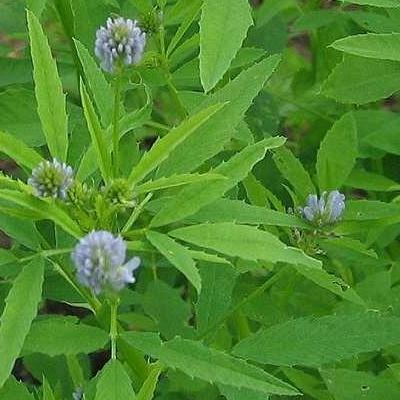 Купить Пажитник (чаман) голубой Изумительный аромат