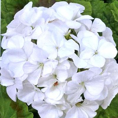 Купить Пеларгонию белую Магия лета