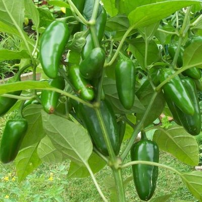 Купить семена перца Халапеньо