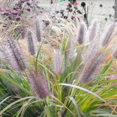 Купить Пеннисетум Лисий хвостик (семена сухоцветов)