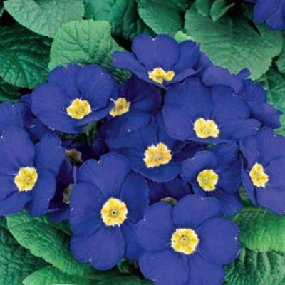 Купить Примула Аккорд Синяя гармония