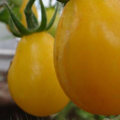 Купить томат Медовая капля